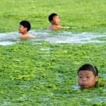 Invasione di alghe nel mare della Cina